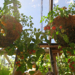 Tumbler tomatoes in containers, part 1