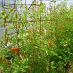 cherry tomato superabundance