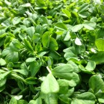 peashoots!! an amazing winter-time green